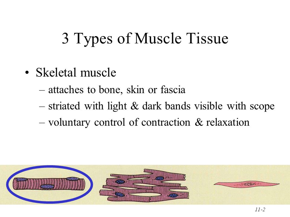 11-2 3 Types of Muscle Tissue Skeletal muscle –attaches to bone, skin or fascia –striated with light & dark bands visible with scope –voluntary control of contraction & relaxation