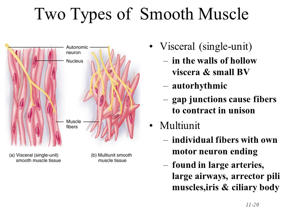 11-20 Two Types of Smooth Muscle Visceral (single-unit) –in the walls of hollow viscera & small BV –autorhythmic –gap junctions cause fibers to contract in unison Multiunit –individual fibers with own motor neuron ending –found in large arteries, large airways, arrector pili muscles,iris & ciliary body