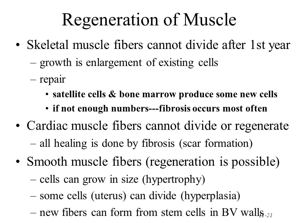 11-21 Regeneration of Muscle Skeletal muscle fibers cannot divide after 1st year –growth is enlargement of existing cells –repair satellite cells & bone marrow produce some new cells if not enough numbers---fibrosis occurs most often Cardiac muscle fibers cannot divide or regenerate –all healing is done by fibrosis (scar formation) Smooth muscle fibers (regeneration is possible) –cells can grow in size (hypertrophy) –some cells (uterus) can divide (hyperplasia) –new fibers can form from stem cells in BV walls
