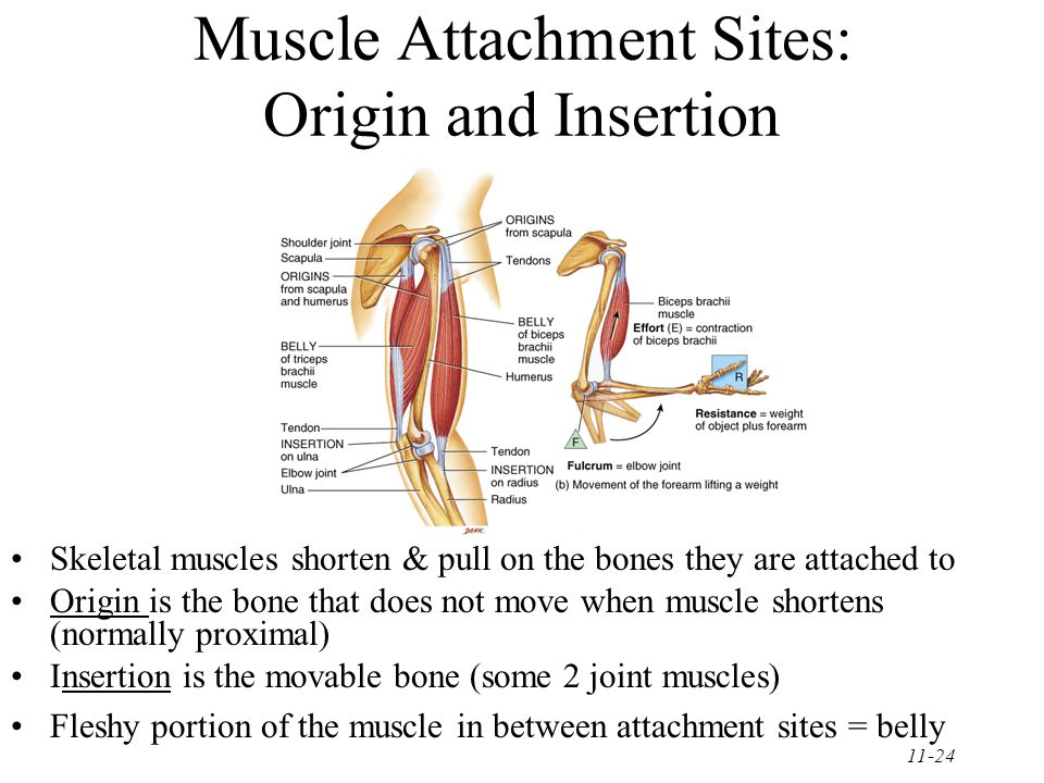 11-24 Muscle Attachment Sites: Origin and Insertion Skeletal muscles shorten & pull on the bones they are attached to Origin is the bone that does not move when muscle shortens (normally proximal) Insertion is the movable bone (some 2 joint muscles) Fleshy portion of the muscle in between attachment sites = belly