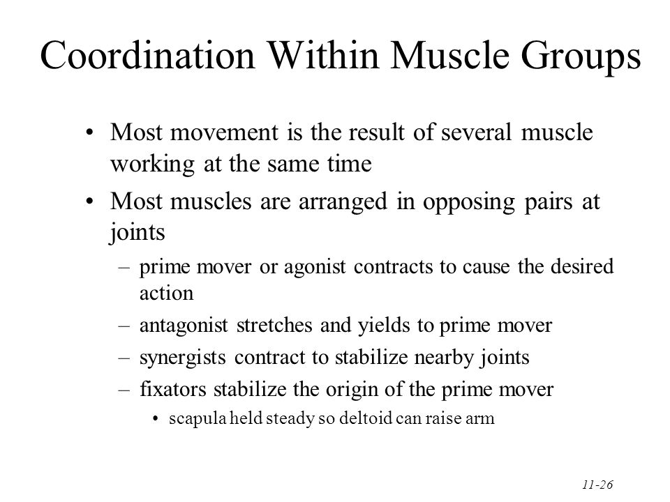 11-26 Coordination Within Muscle Groups Most movement is the result of several muscle working at the same time Most muscles are arranged in opposing pairs at joints –prime mover or agonist contracts to cause the desired action –antagonist stretches and yields to prime mover –synergists contract to stabilize nearby joints –fixators stabilize the origin of the prime mover scapula held steady so deltoid can raise arm