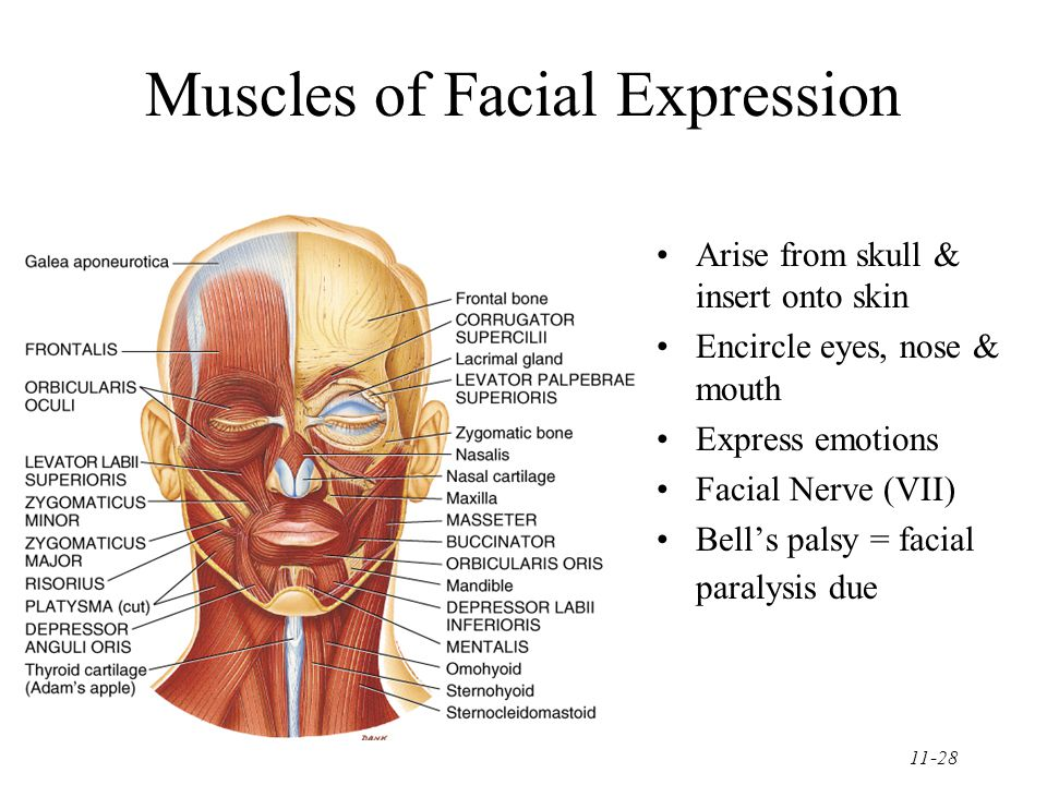 11-28 Muscles of Facial Expression Arise from skull & insert onto skin Encircle eyes, nose & mouth Express emotions Facial Nerve (VII) Bell's palsy = facial paralysis due
