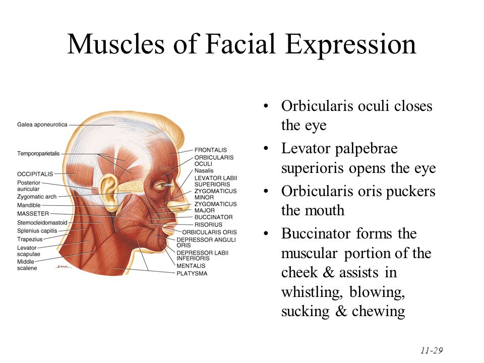 11-29 Muscles of Facial Expression Orbicularis oculi closes the eye Levator palpebrae superioris opens the eye Orbicularis oris puckers the mouth Buccinator forms the muscular portion of the cheek & assists in whistling, blowing, sucking & chewing