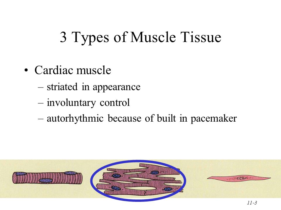 11-3 3 Types of Muscle Tissue Cardiac muscle –striated in appearance –involuntary control –autorhythmic because of built in pacemaker
