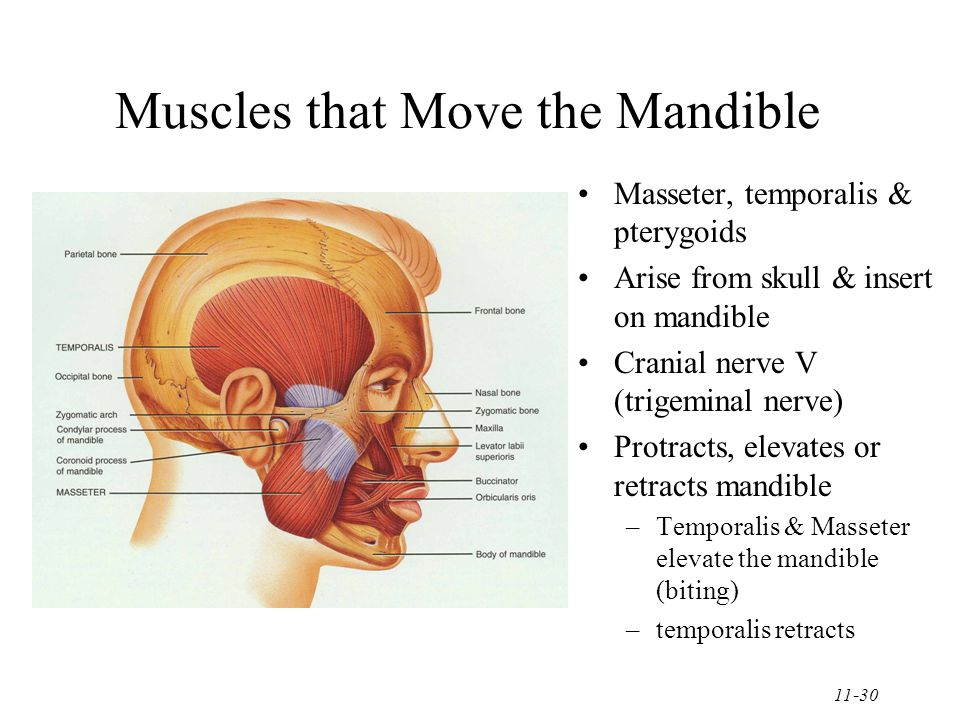 11-30 Muscles that Move the Mandible Masseter, temporalis & pterygoids Arise from skull & insert on mandible Cranial nerve V (trigeminal nerve) Protracts, elevates or retracts mandible –Temporalis & Masseter elevate the mandible (biting) –temporalis retracts