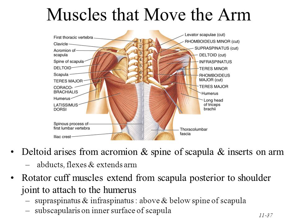11-37 Muscles that Move the Arm Deltoid arises from acromion & spine of scapula & inserts on arm – abducts, flexes & extends arm Rotator cuff muscles extend from scapula posterior to shoulder joint to attach to the humerus –supraspinatus & infraspinatus : above & below spine of scapula –subscapularis on inner surface of scapula
