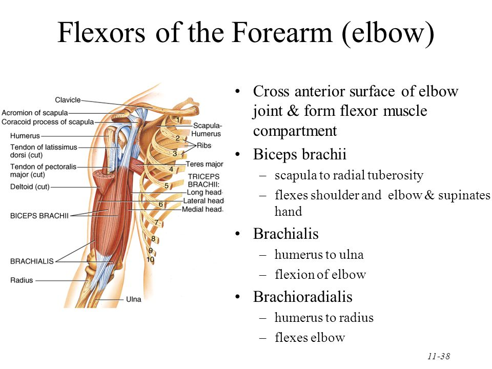 11-38 Flexors of the Forearm (elbow) Cross anterior surface of elbow joint & form flexor muscle compartment Biceps brachii –scapula to radial tuberosity –flexes shoulder and elbow & supinates hand Brachialis –humerus to ulna –flexion of elbow Brachioradialis –humerus to radius –flexes elbow