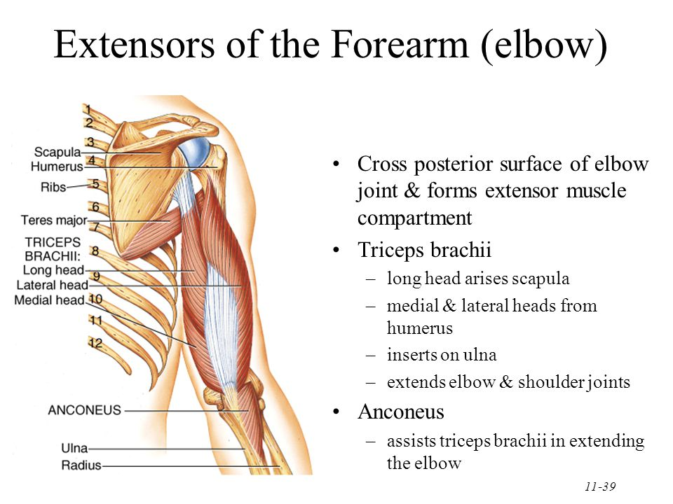 11-39 Extensors of the Forearm (elbow) Cross posterior surface of elbow joint & forms extensor muscle compartment Triceps brachii –long head arises scapula –medial & lateral heads from humerus –inserts on ulna –extends elbow & shoulder joints Anconeus –assists triceps brachii in extending the elbow