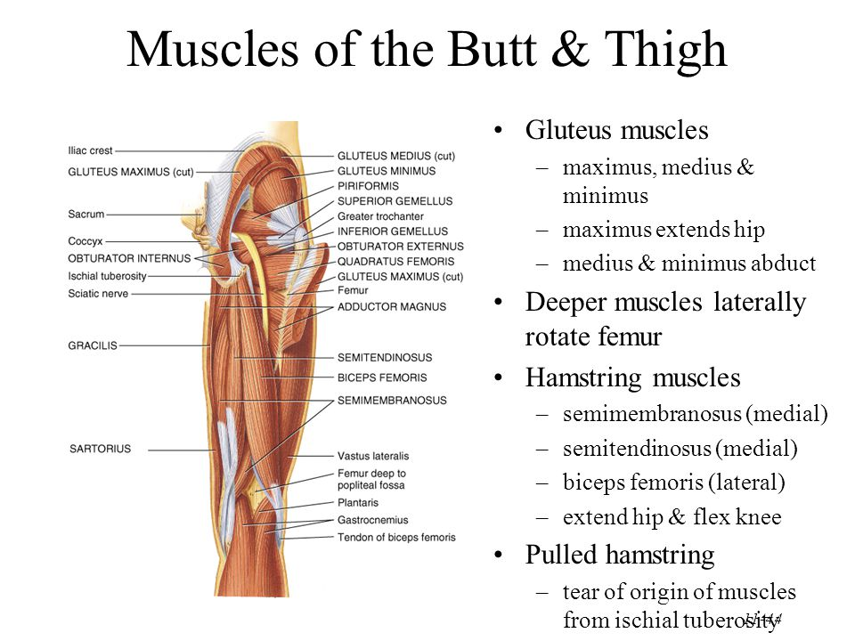 11-44 Muscles of the Butt & Thigh Gluteus muscles –maximus, medius & minimus –maximus extends hip –medius & minimus abduct Deeper muscles laterally rotate femur Hamstring muscles –semimembranosus (medial) –semitendinosus (medial) –biceps femoris (lateral) –extend hip & flex knee Pulled hamstring –tear of origin of muscles from ischial tuberosity