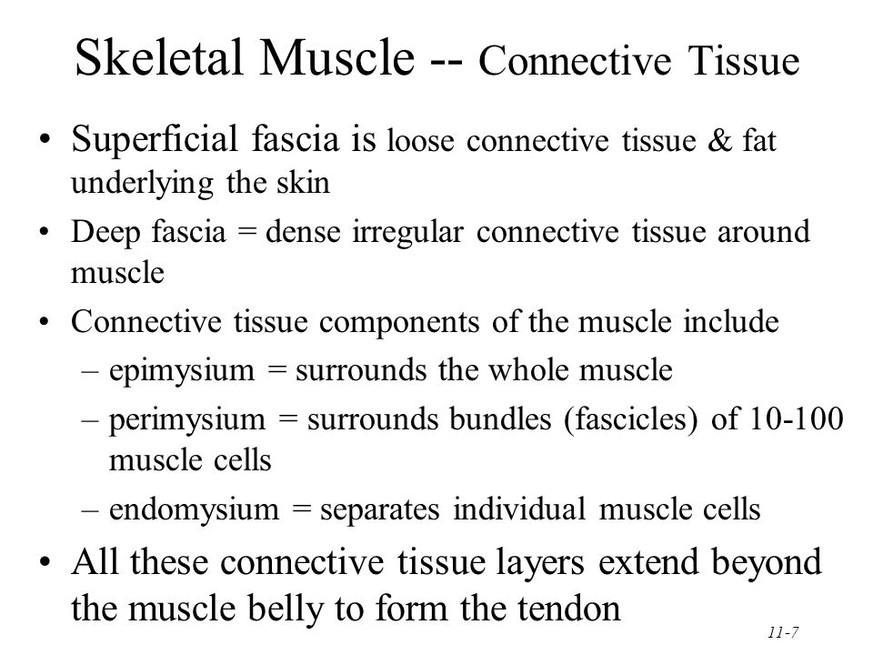 11-7 Skeletal Muscle -- Connective Tissue Superficial fascia is loose connective tissue & fat underlying the skin Deep fascia = dense irregular connective tissue around muscle Connective tissue components of the muscle include –epimysium = surrounds the whole muscle –perimysium = surrounds bundles (fascicles) of 10-100 muscle cells –endomysium = separates individual muscle cells All these connective tissue layers extend beyond the muscle belly to form the tendon