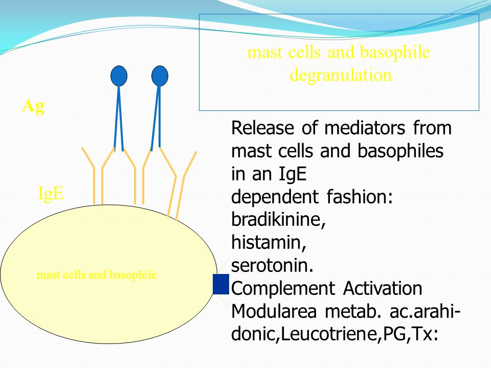mast cells and basophile IgE Ag Release of mediators from mast cells and basophiles in an IgE dependent fashion: bradikinine, histamin, serotonin. Com