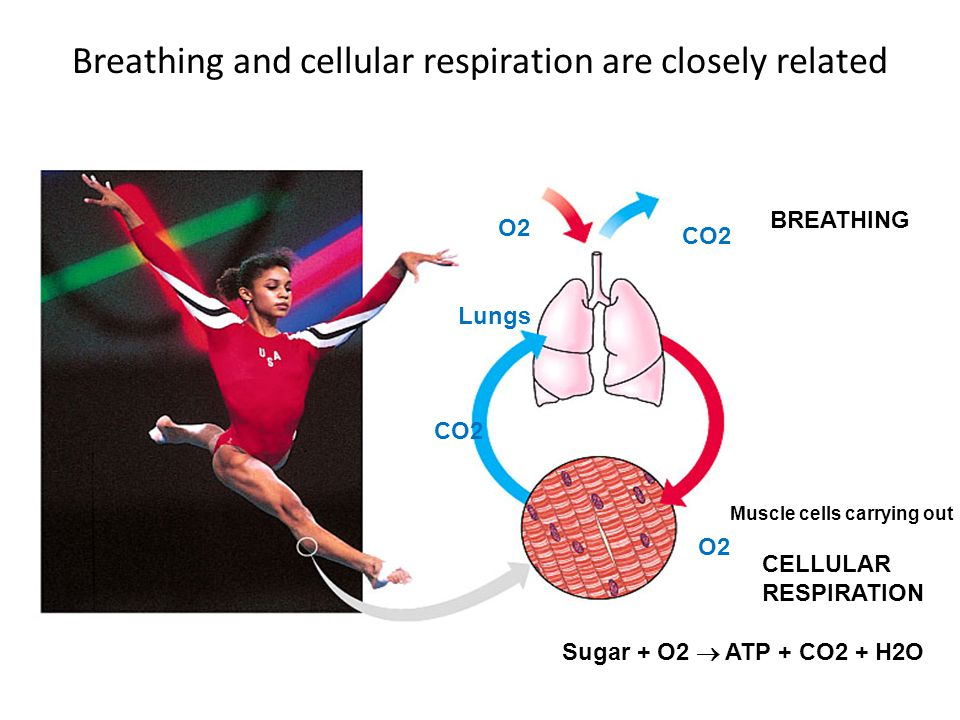 Aerobic Cellular Respiration Aerobic = with oxygen Occurs in the mitochondria The use of oxygen releases more energy per glucose molecule than anaerobic = without oxygen Uses oxygen but releases carbon dioxide and water SUMMARY EQUATION: