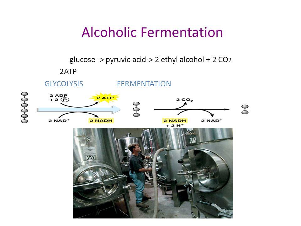 Anaerobic Respiration Fermentation – alcohol fermentation yeast – glucose  ATP + CO 2 + alcohol – make beer, wine, bread – lactic acid fermentation b