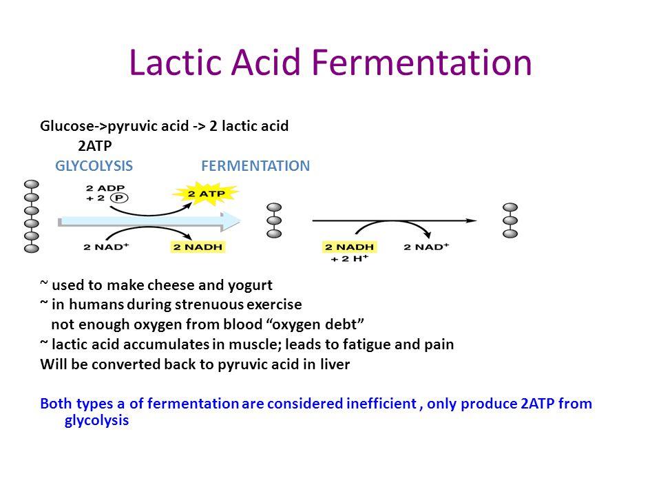 Alcoholic Fermentation glucose -> pyruvic acid-> 2 ethyl alcohol + 2 CO 2 2ATP GLYCOLYSIS FERMENTATION