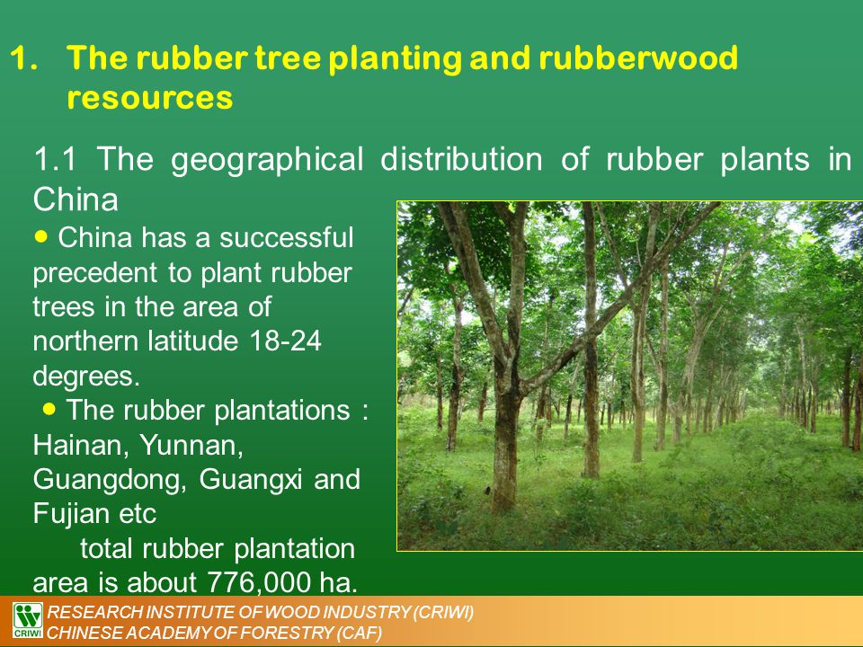 RESEARCH INSTITUTE OF WOOD INDUSTRY (CRIWI) CHINESE ACADEMY OF FORESTRY (CAF) 1.The rubber tree planting and rubberwood resources ● The total natural rubber yield in 2006 is 537,000 dry ton.