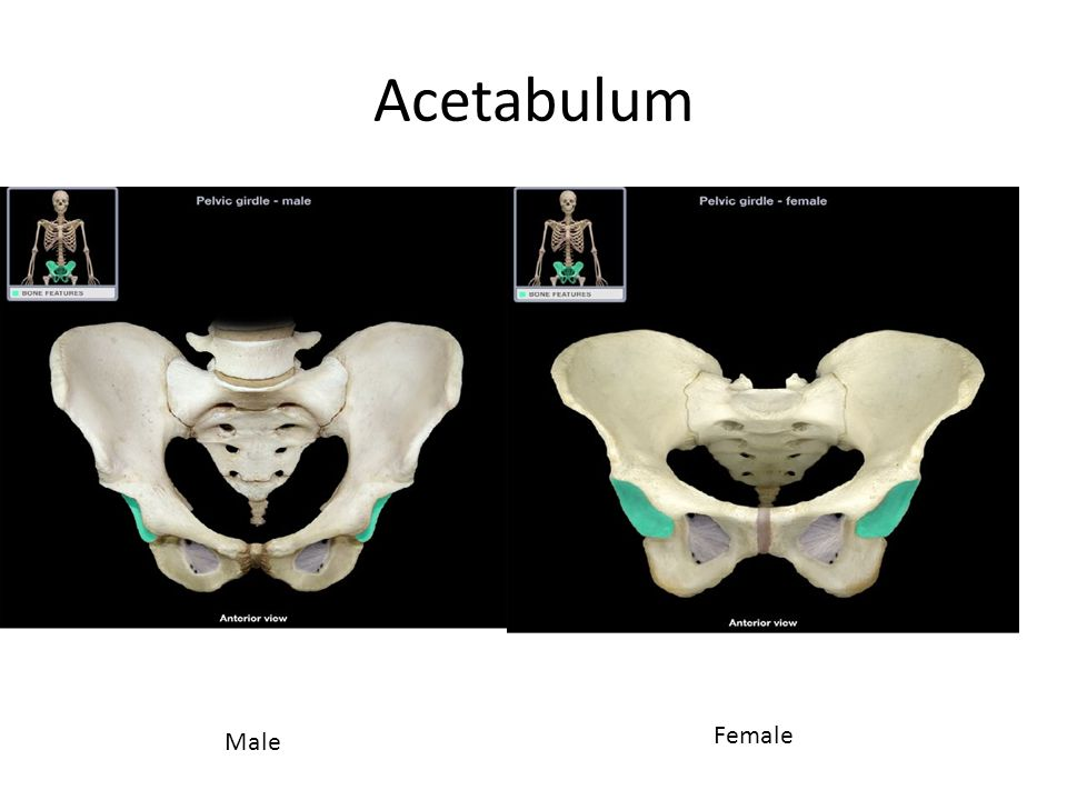 Acetabulum Male Female
