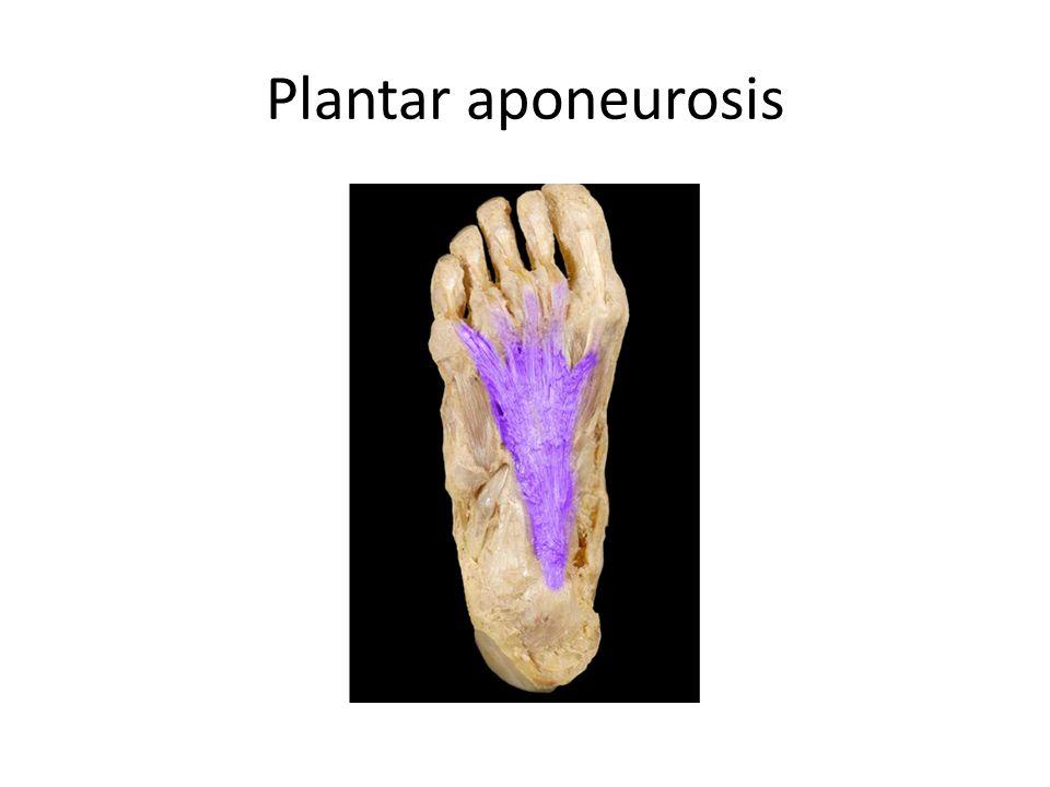 Plantar aponeurosis