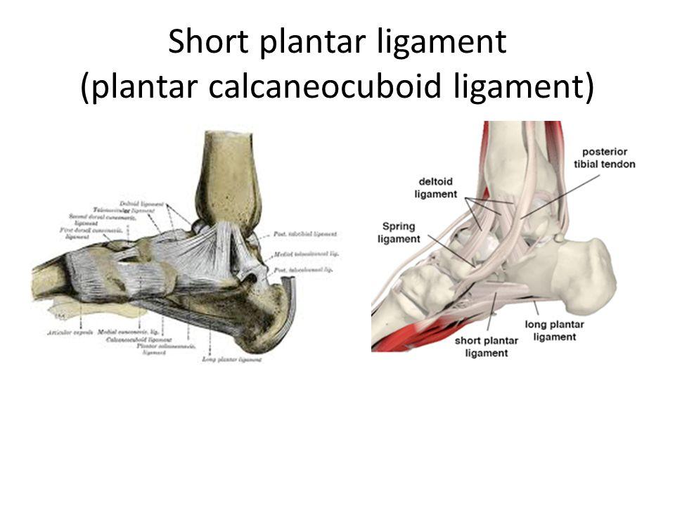 Short plantar ligament (plantar calcaneocuboid ligament)