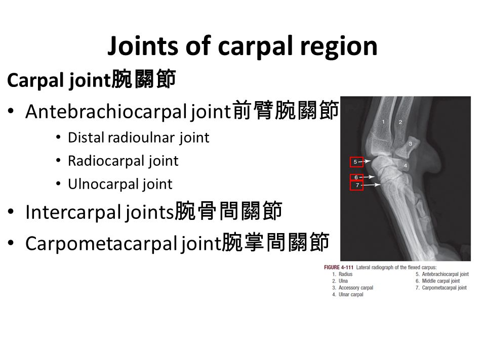 Joints of carpal region Carpal joint 腕關節 Antebrachiocarpal joint 前臂腕關節 Distal radioulnar joint Radiocarpal joint Ulnocarpal joint Intercarpal joints 腕骨間關節 Carpometacarpal joint 腕掌間關節