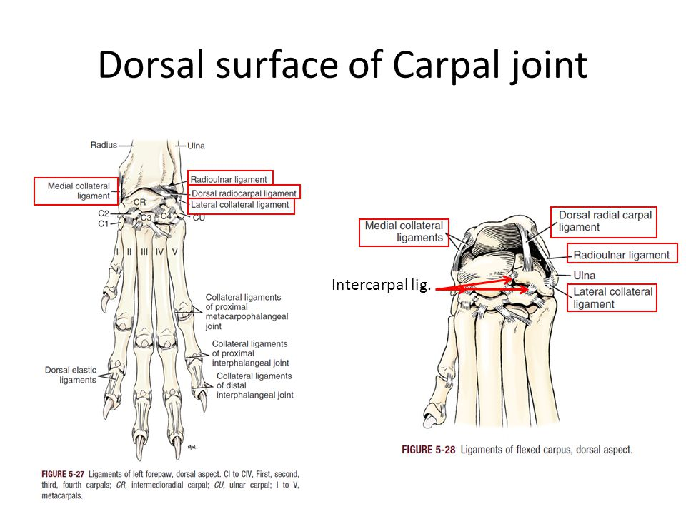 Dorsal surface of Carpal joint Intercarpal lig.