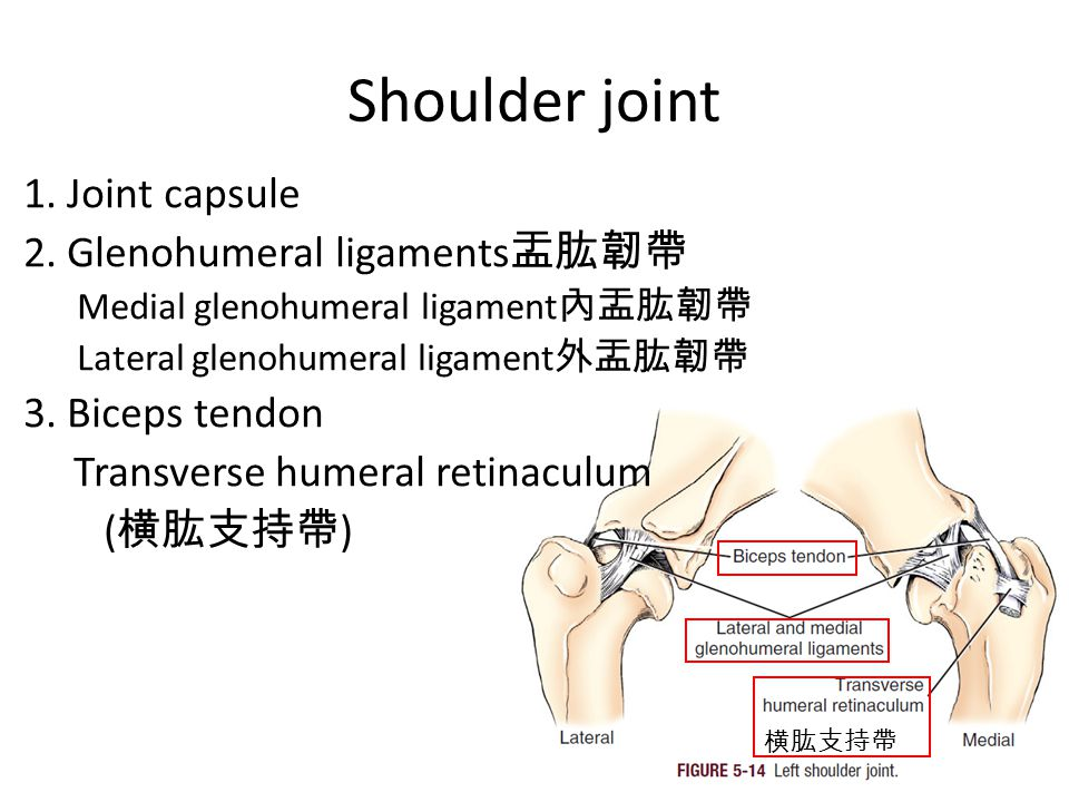 Shoulder joint 1. Joint capsule 2.