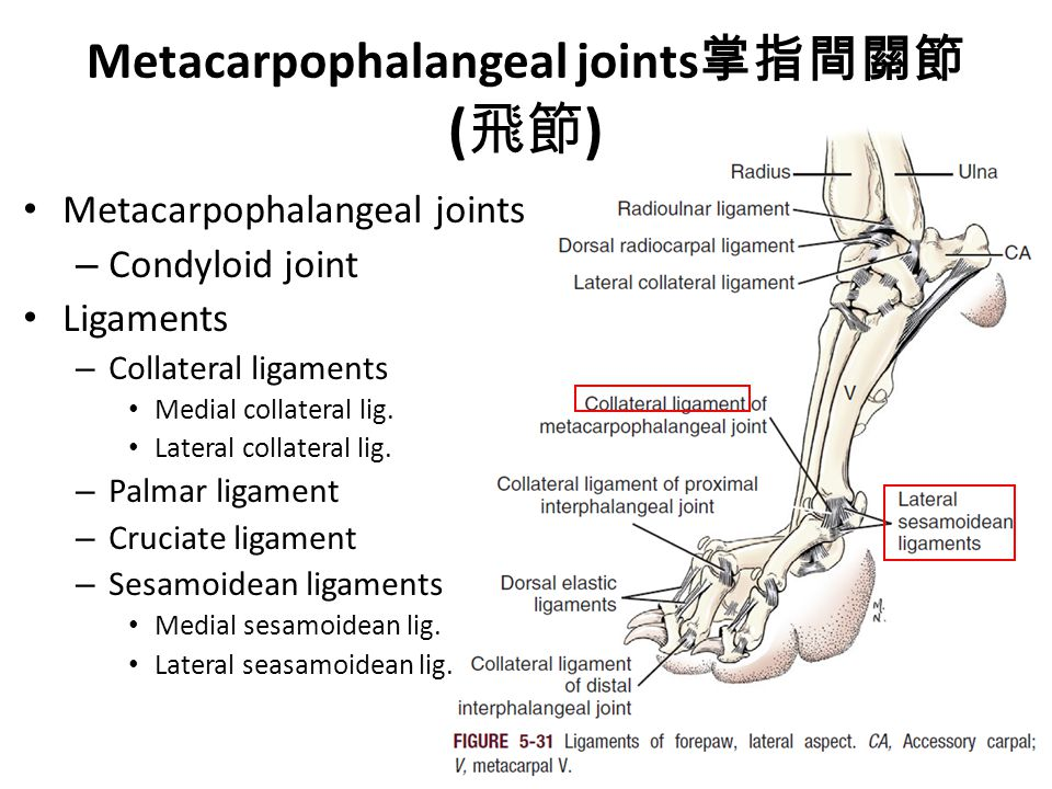Metacarpophalangeal joints 掌指間關節 ( 飛節 ) Metacarpophalangeal joints – Condyloid joint Ligaments – Collateral ligaments Medial collateral lig.