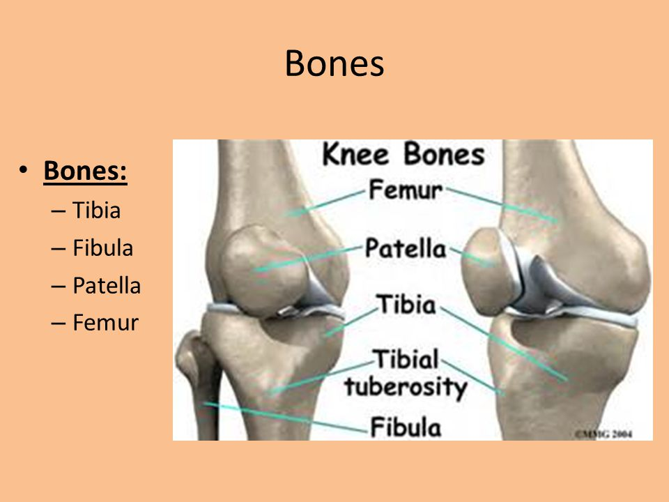 Bones Tibia – The most weight baring bone in the lower leg.