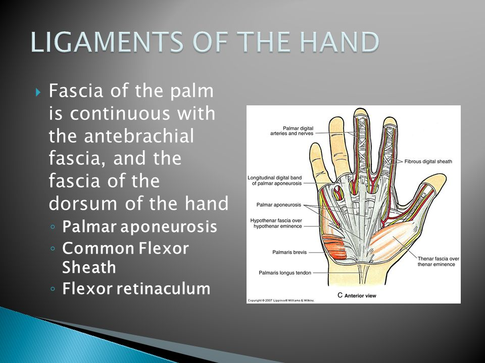  Fascia of the palm is continuous with the antebrachial fascia, and the fascia of the dorsum of the hand ◦ Palmar aponeurosis ◦ Common Flexor Sheath ◦ Flexor retinaculum