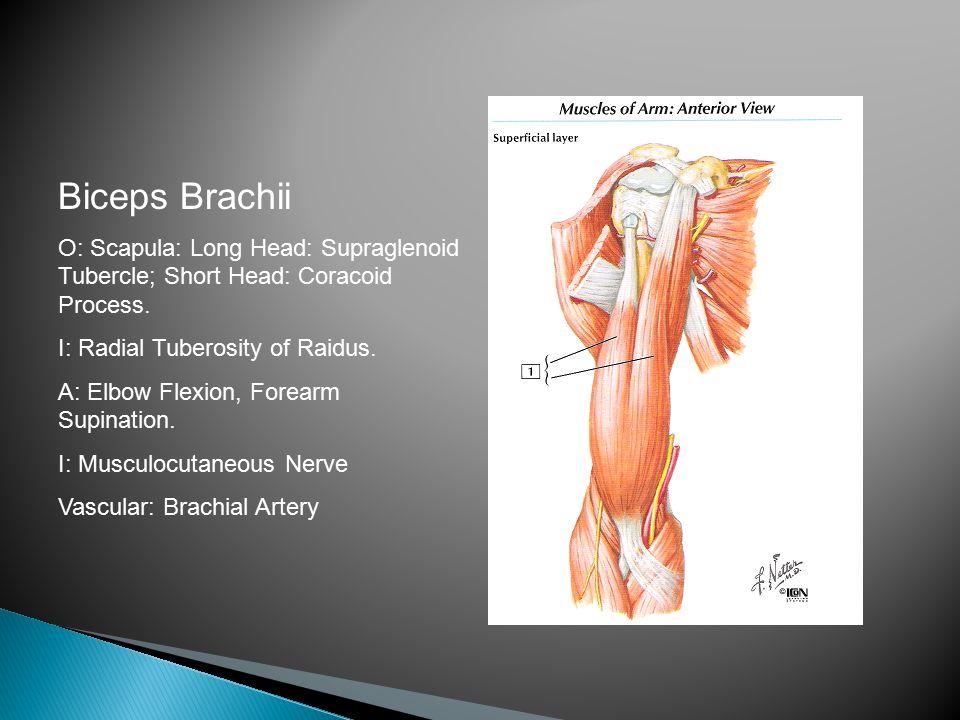 Biceps Brachii O: Scapula: Long Head: Supraglenoid Tubercle; Short Head: Coracoid Process.