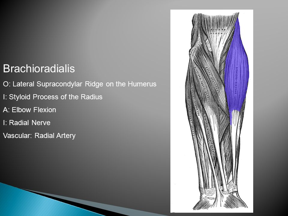 Brachioradialis O: Lateral Supracondylar Ridge on the Humerus I: Styloid Process of the Radius A: Elbow Flexion I: Radial Nerve Vascular: Radial Artery