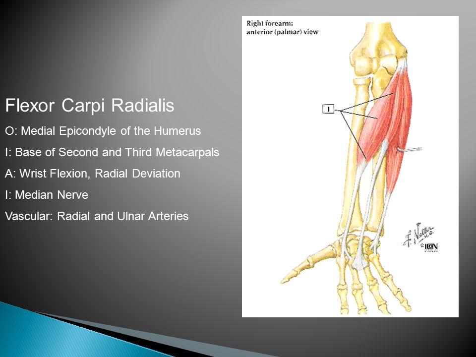 Flexor Carpi Radialis O: Medial Epicondyle of the Humerus I: Base of Second and Third Metacarpals A: Wrist Flexion, Radial Deviation I: Median Nerve Vascular: Radial and Ulnar Arteries