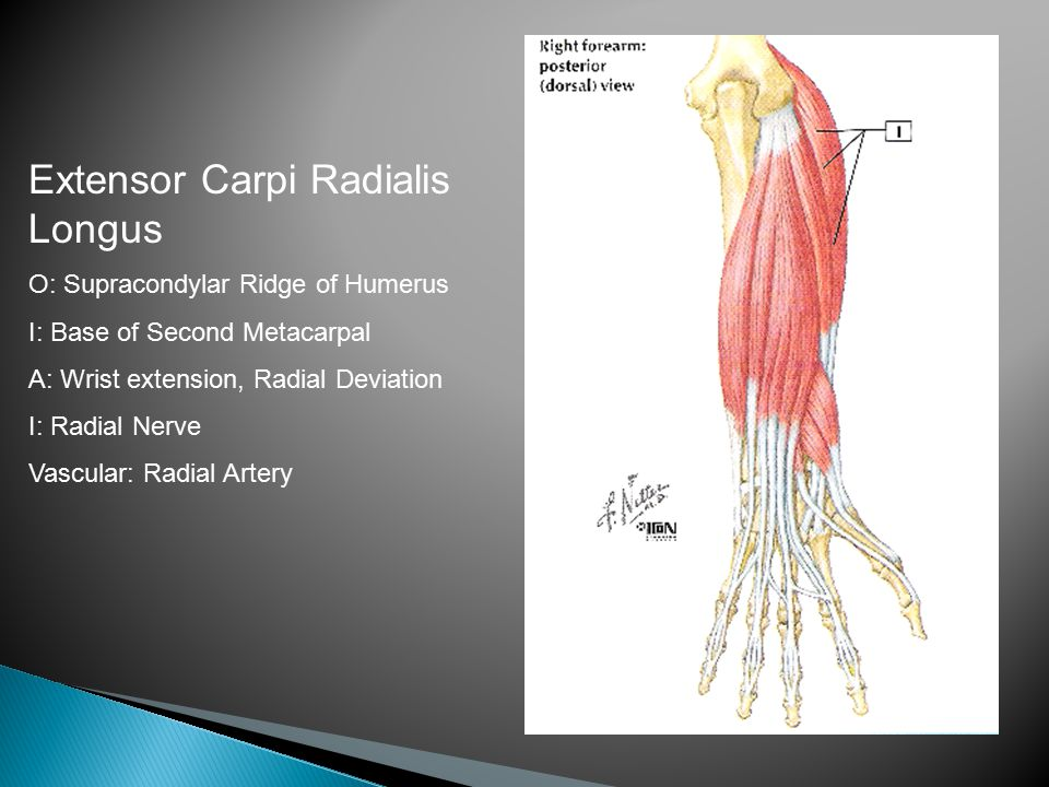 Extensor Carpi Radialis Longus O: Supracondylar Ridge of Humerus I: Base of Second Metacarpal A: Wrist extension, Radial Deviation I: Radial Nerve Vascular: Radial Artery
