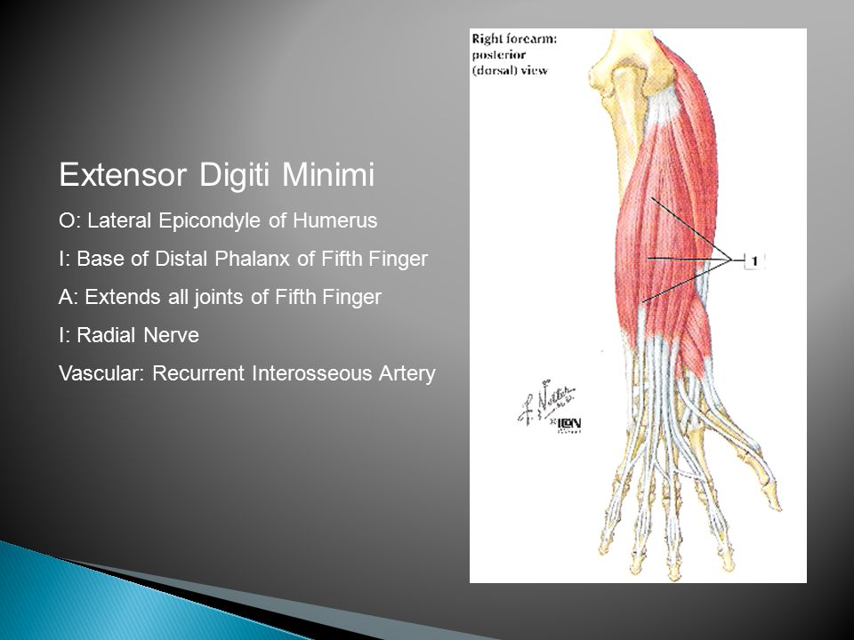 Extensor Digiti Minimi O: Lateral Epicondyle of Humerus I: Base of Distal Phalanx of Fifth Finger A: Extends all joints of Fifth Finger I: Radial Nerve Vascular: Recurrent Interosseous Artery