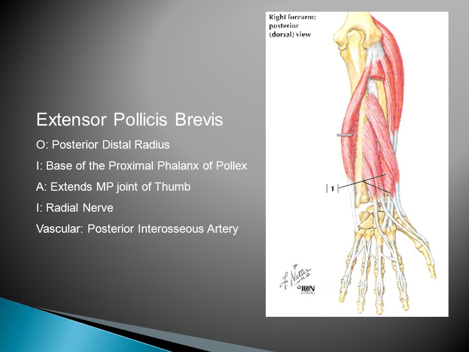 Extensor Pollicis Brevis O: Posterior Distal Radius I: Base of the Proximal Phalanx of Pollex A: Extends MP joint of Thumb I: Radial Nerve Vascular: Posterior Interosseous Artery