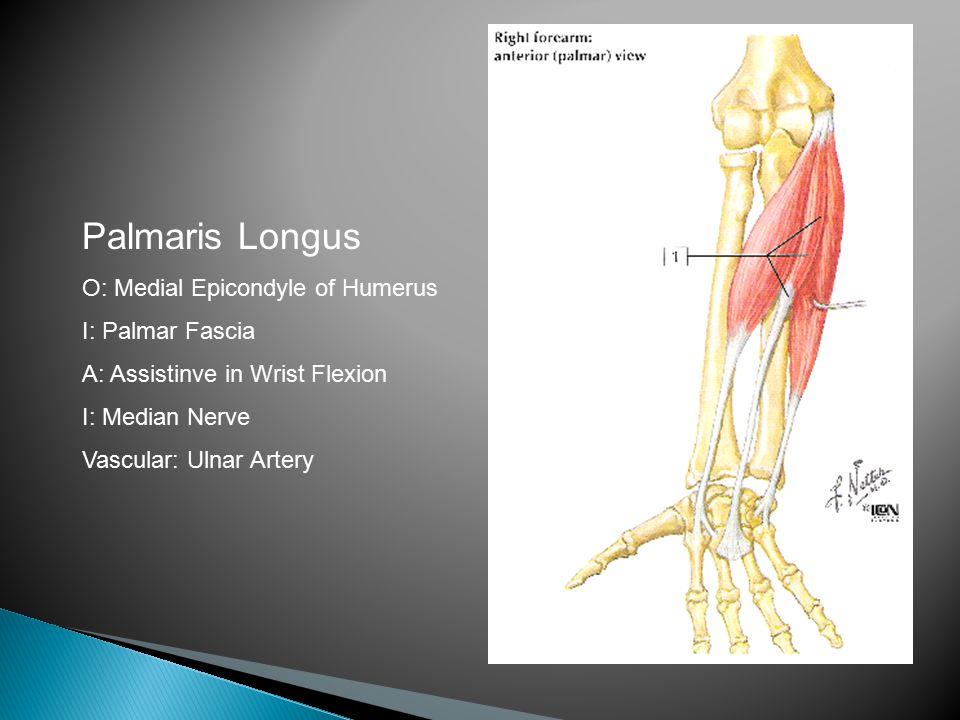 Palmaris Longus O: Medial Epicondyle of Humerus I: Palmar Fascia A: Assistinve in Wrist Flexion I: Median Nerve Vascular: Ulnar Artery