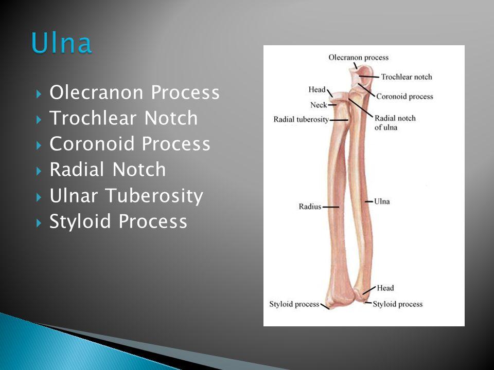  Olecranon Process  Trochlear Notch  Coronoid Process  Radial Notch  Ulnar Tuberosity  Styloid Process