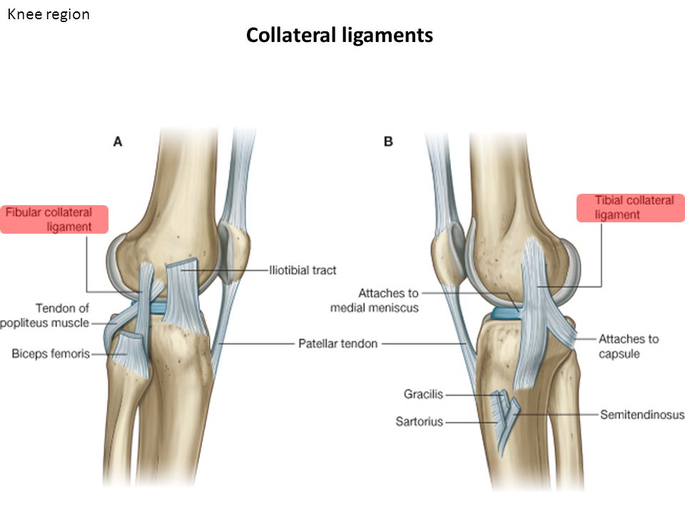Collateral ligaments Knee region