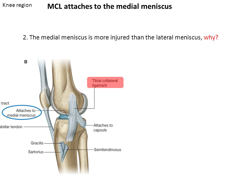 MCL attaches to the medial meniscus 2.