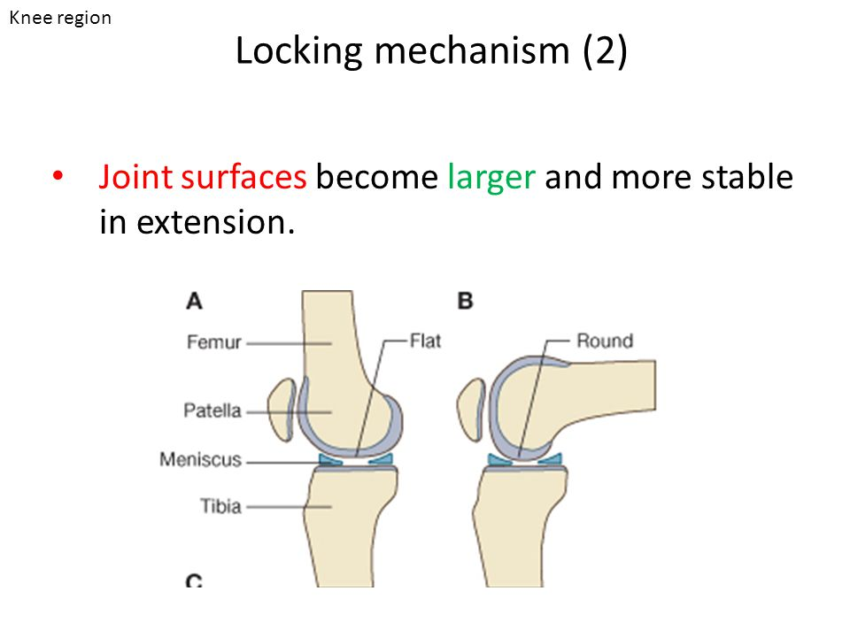 Locking mechanism (2) Joint surfaces become larger and more stable in extension. Knee region