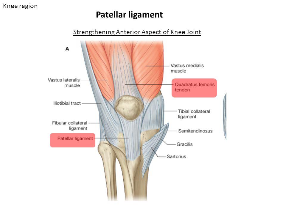 Patellar ligament Strengthening Anterior Aspect of Knee Joint Knee region