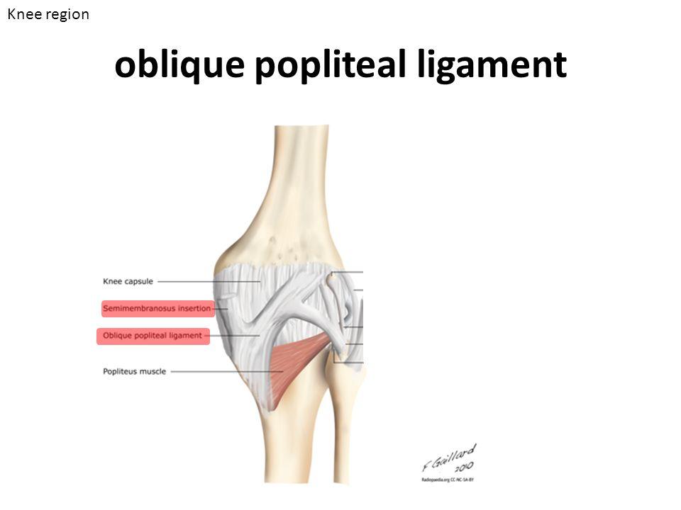 oblique popliteal ligament Knee region