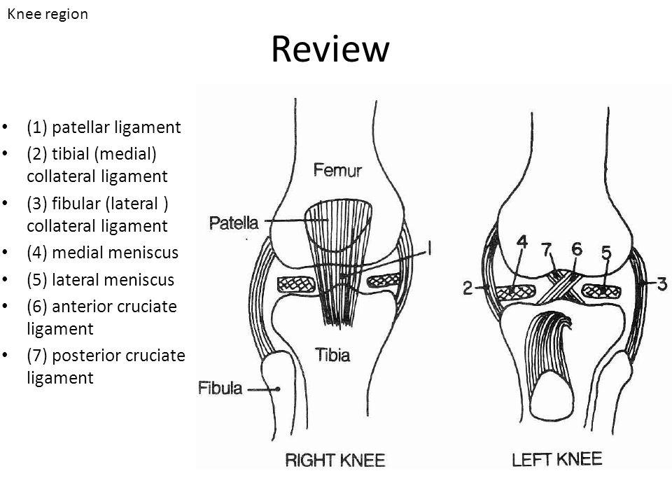 Review (1) patellar ligament (2) tibial (medial) collateral ligament (3) fibular (lateral ) collateral ligament (4) medial meniscus (5) lateral menisc