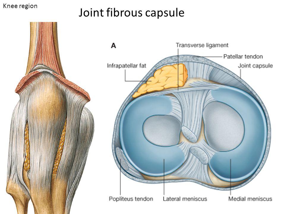 Joint fibrous capsule Knee region