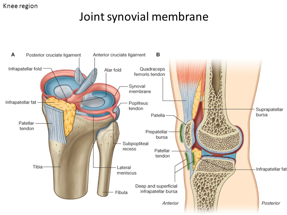 Joint synovial membrane Knee region