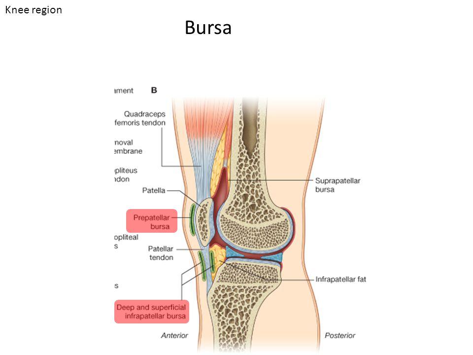 Bursa Knee region