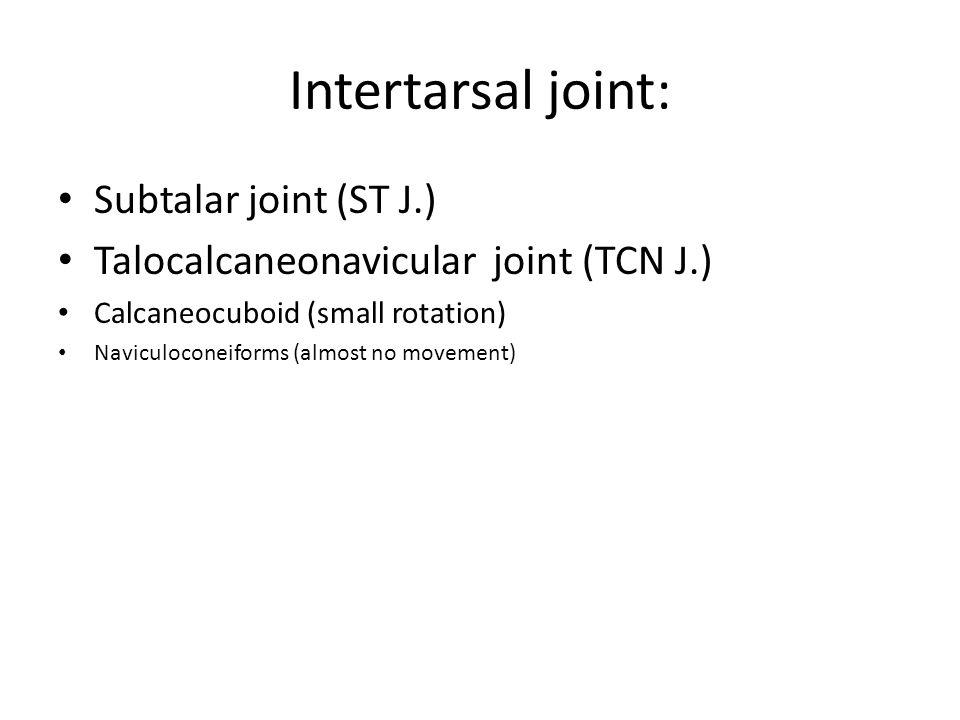 Intertarsal joint: Subtalar joint (ST J.) Talocalcaneonavicular joint (TCN J.) Calcaneocuboid (small rotation) Naviculoconeiforms (almost no movement)