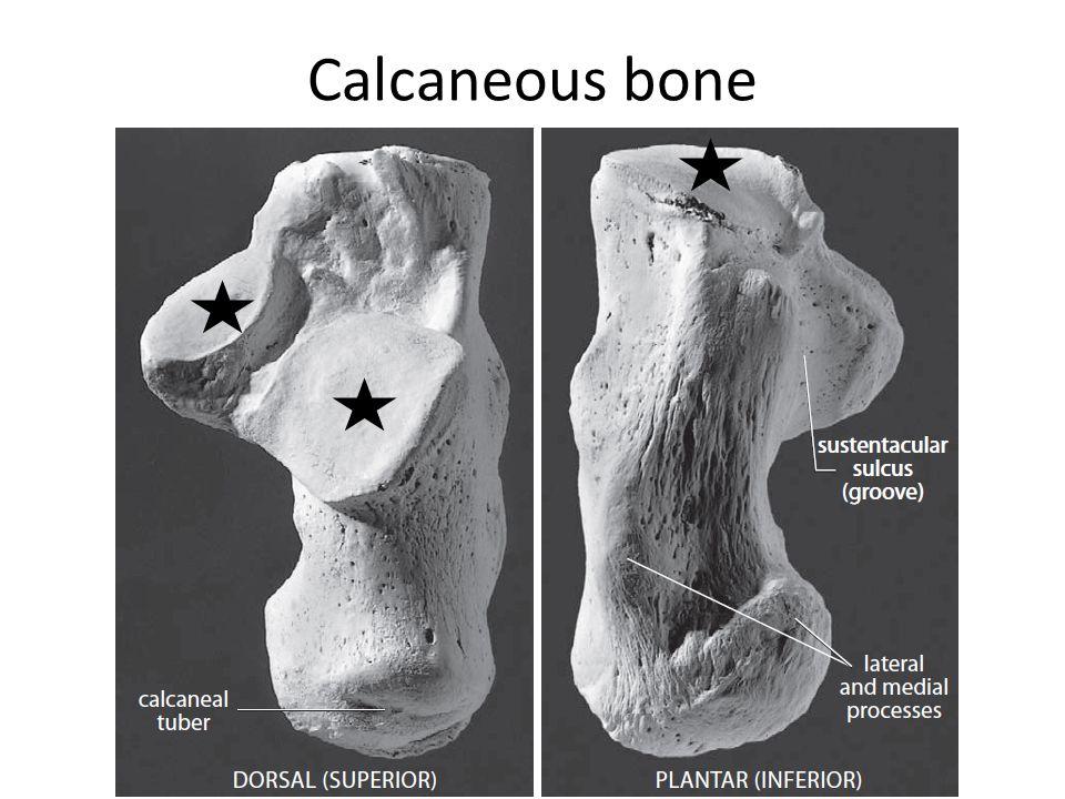 Calcaneous bone