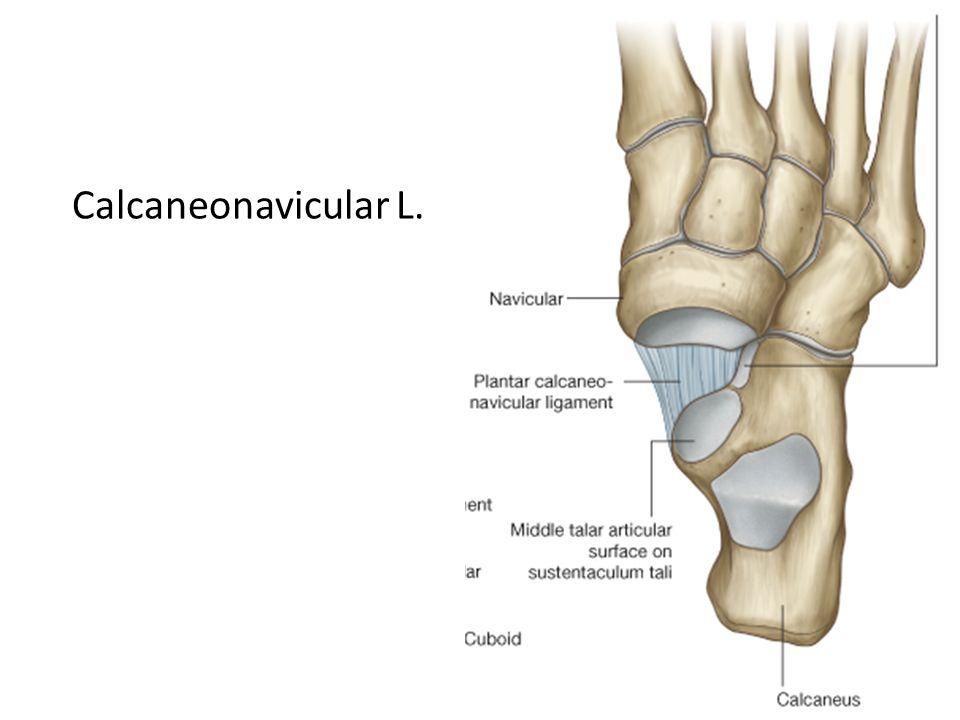 Calcaneonavicular L.