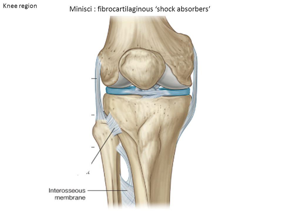 Minisci : fibrocartilaginous 'shock absorbers' Knee region
