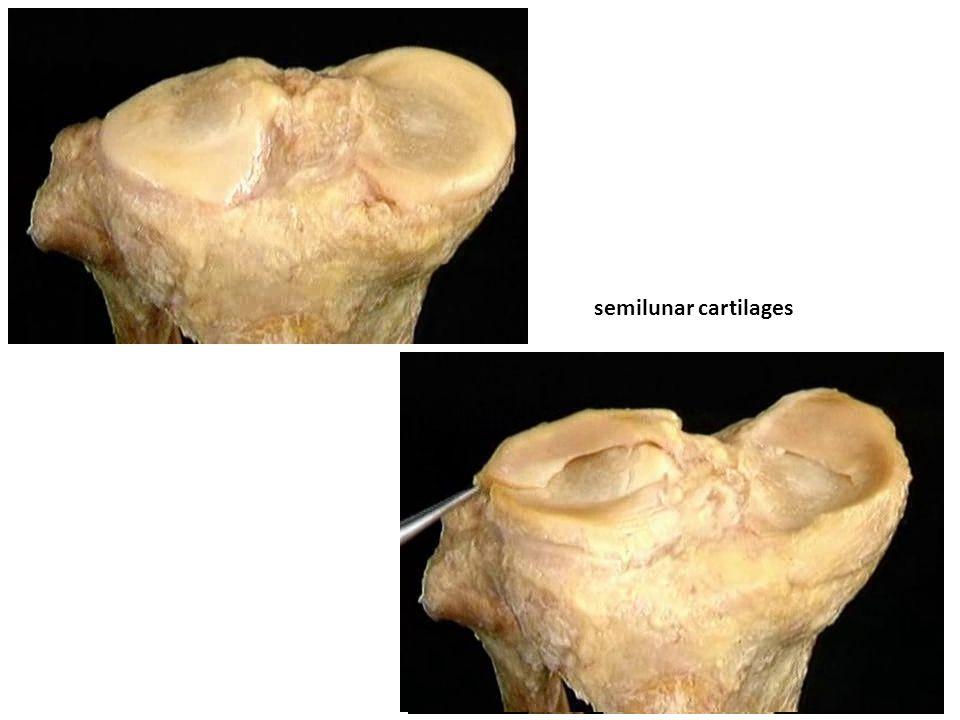 semilunar cartilages